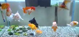 照英家の水槽の金魚