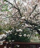 立川志らくの自宅窓から見える桜